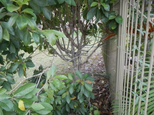 Different climbable shrub next to another pool fence